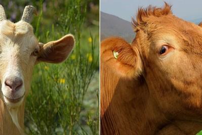 Jakie mleko modyfikowane wybrać - kozie czy krowie?