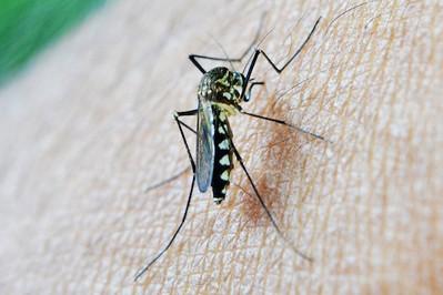 Komary: czy ukąszeń komarów trzeba się bać? Plaga komarów w Polsce