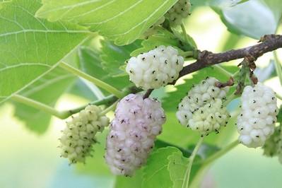 Morwa biała – niedoceniana roślina o właściwościach prozdrowotnych