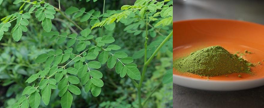 Moringa czyli drzewo życia: właściwości i zastosowanie