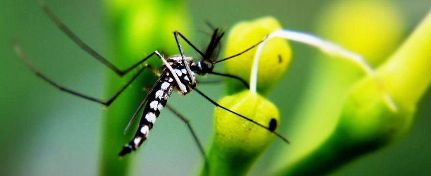Rodzice uważajcie: w Europie i Polsce pojawia się komar tygrysi, a pomaga mu w tym epidemia koronawirusa!