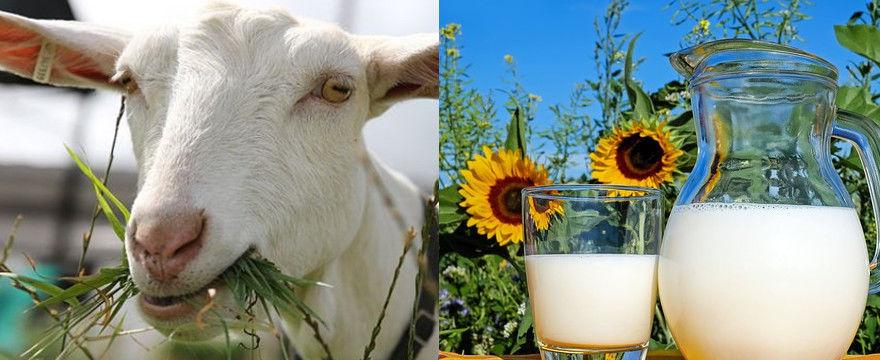 Kozie mleko - bogactwo składników odżywczych