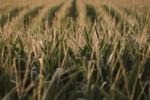 GIS ostrzega: popularne wafle kukurydziane wycofane ze sprzedaży!
